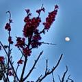 写真: 紅梅と月