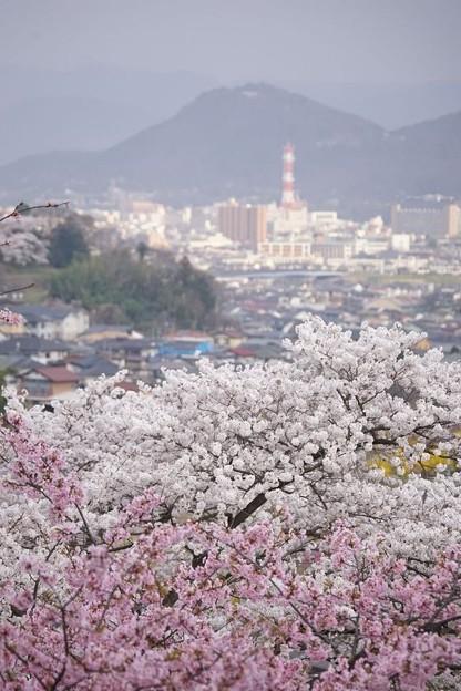 桜と信夫山