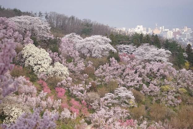 花見山にて