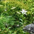 写真: 庭のユリ
