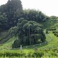 三春滝桜~葉桜