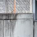 Photos: 塀の雀