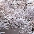 Photos: 春の雪花