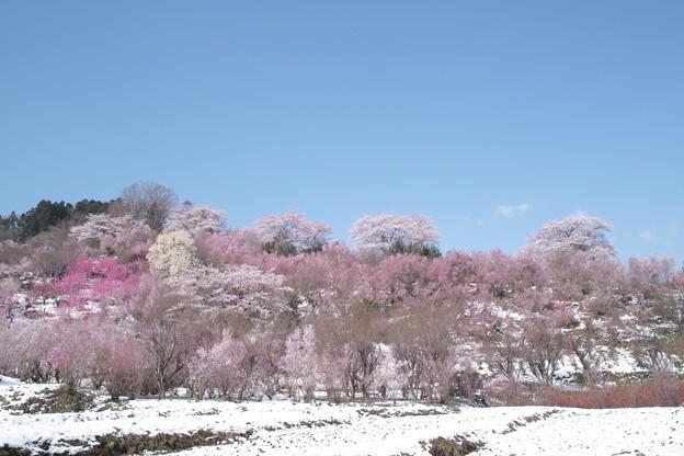 雪の花見山