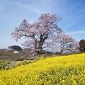 塩ノ崎の大桜と菜の花