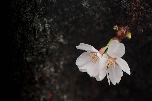 桜になりたい