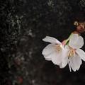 写真: 桜になりたい