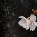 Photos: 桜になりたい