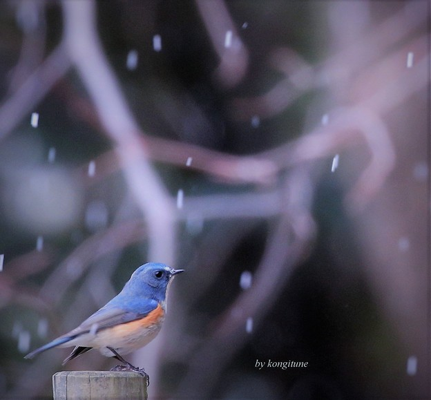 Photos: 雪のルリ君