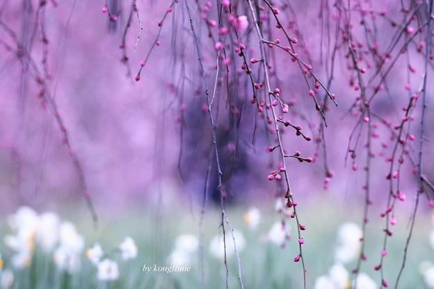 Photos: 枝垂れ梅はまだ蕾