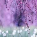写真: 枝垂れ梅はまだ蕾