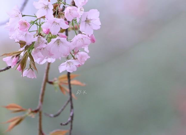 写真: 桜を捧げます