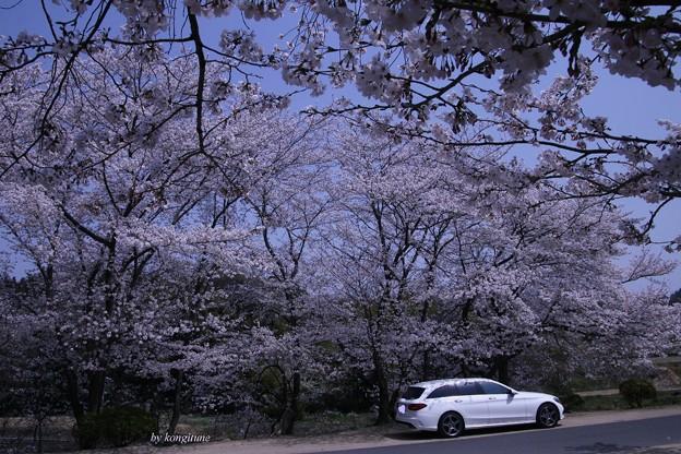 桜のお迎え