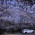 写真: 桜のお迎え