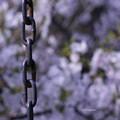写真: 桜ブランコ