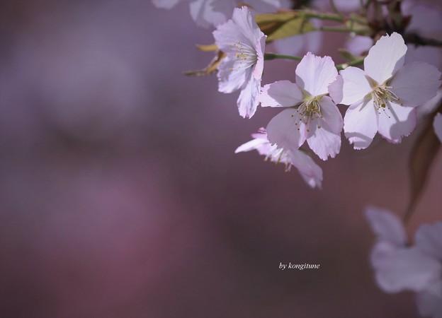 写真: 願はくは花の下にて