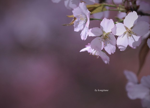 Photos: 願はくは花の下にて