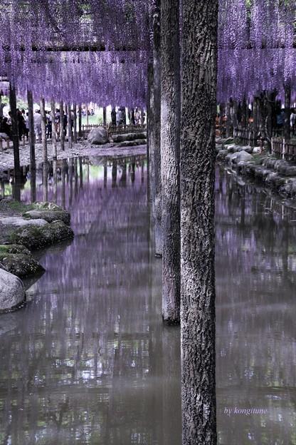 写真: 水の藤棚