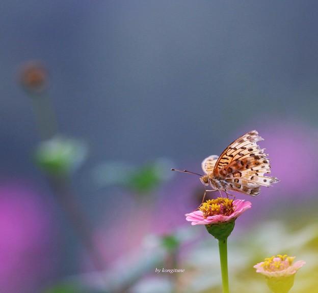 写真: 百日草