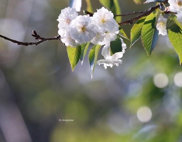 Photos: 秋さくら