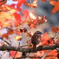 写真: カナダ楓の陰で