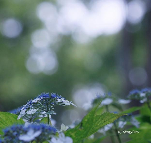 森の紫陽花