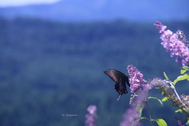 峠のアゲハ蝶