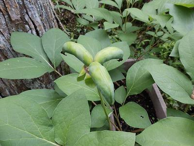 6月12日「山芍薬の種苞」