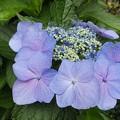 Photos: 7月9日「紫陽花」