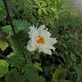 写真: 9月3日「秋明菊」