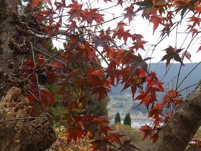 11月20日「我が家の紅葉」