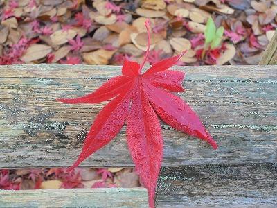 12月1日「一葉の紅葉」