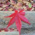 Photos: 12月1日「一葉の紅葉」
