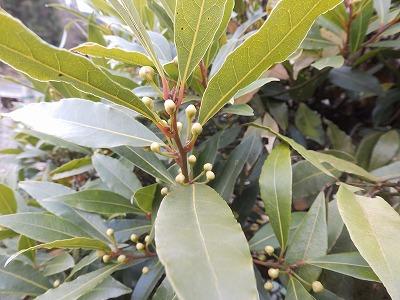 1月15日「月桂樹」