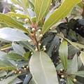 Photos: 1月15日「月桂樹」