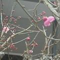 Photos: 2月18日「梅」