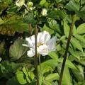 9月14日「白花秋明菊」