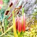 Photos: Lycoris radiata