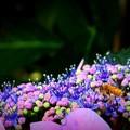 Photos: 紫陽花と蜂
