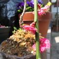 写真: 枝垂れ紅梅