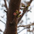 写真: 桜がそろそろ咲きそうです