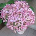 写真: 開花、見頃! アナベル_04