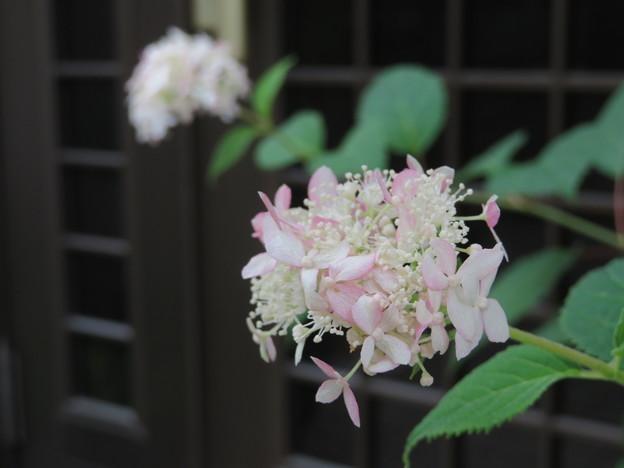 アナベル、9月の開花