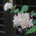 Photos: アナベル、9月の開花
