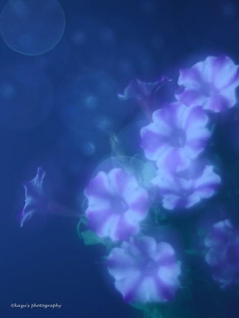 写真: ペチュニアの夢♪