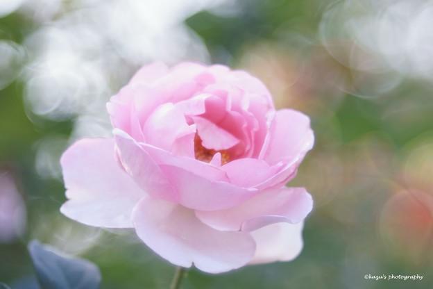 秋薔薇のほほえみ ♪