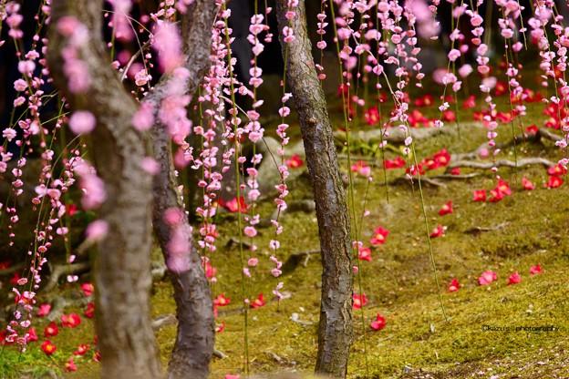 今年は落ち椿が豊作♪