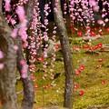 Photos: 今年は落ち椿が豊作♪