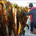 写真: 松島湾で養殖したワカメを収穫する赤間さん。「作柄は順調だ」と話す=11日、塩釜市沖