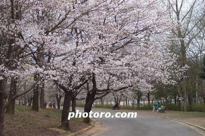 Photos: 済州島には樹齢265年の桜も! 韓国が「ソメイヨシノ」の起源を主張する根拠